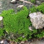 Moss — Stock Photo #27198431