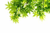 Zweige mit grünen blättern — Stockfoto