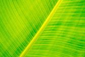 Banana leaves — Stock Photo