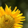 Sunflower — Stock Photo #30337033