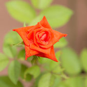 Orange roses. — Stock Photo