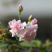 Róże. — Zdjęcie stockowe