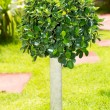 Dwarf  tree — Stock Photo