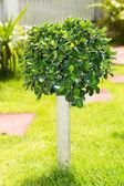 Dvärg träd — Stockfoto