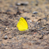 Small yellow butterfly — Stock Photo