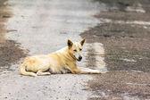 Dog ,thailand — Stock Photo