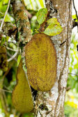 Jackfruit — Stock Photo