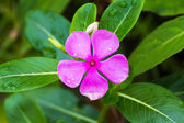 Cape Periwinkle flower — Stock Photo