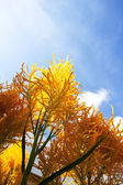 Celosia plumose flowers — Stock Photo