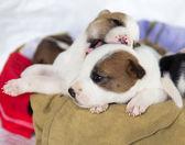 Cucciolo, animale domestico — Foto Stock