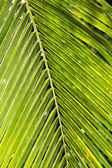 Coconut leaves. — Foto de Stock