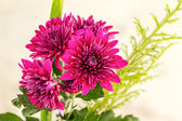 Chrysanthemum flower — Stock Photo