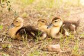 Duckling — Stock Photo