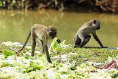 Monkey — Foto de Stock