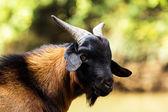 Capra, animale domestico — Foto Stock