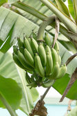 Banana on tree — Stok fotoğraf