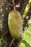 Muz ağacı üzerinde — Stok fotoğraf