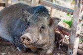 свинья, пэт — Стоковое фото