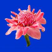 Torch ginger flower — Stock Photo