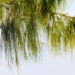Leaf pine.,pattern — Stock Photo