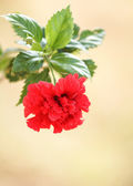 Red  hibiscus flower. — Stock Photo