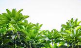 Mango leaves — Stock Photo