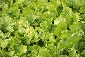 Vegetable — Foto Stock