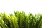Cycad tree — Stock Photo