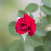 Red roses. — Foto Stock