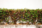 Bomen geplant als een hek — Stockfoto