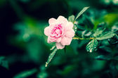 vinette roses — Stock Photo