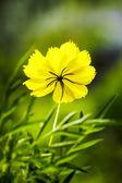 Flor de cosmos. — Foto de Stock