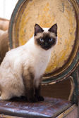 Siamese cat sitting on a rustic chair — Stock Photo