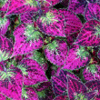 ������, ������: Gorgeous closeup of healthy coleus leaves on giant plant at local nursery makes a wonderful houseplant and can be an outdoor plant as well though needing specific special care