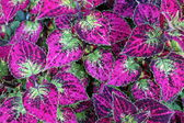 Gorgeous closeup of healthy coleus leaves on giant plant at local nursery makes a wonderful houseplant and can be an outdoor plant as well, though needing specific special care. — Stock Photo