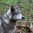 Gray timber wolf in natural habitat staring intently into distance. — Stock Photo