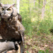 Great horned owl perched on handler's arm,which is covered in heavy leather glove to protect it from the owl's sharp talons. — Stock Photo