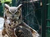 Great horned howl with hooded eyes and intent stare is a fierce nocturnal hunter — Zdjęcie stockowe