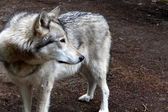 Gray timber wolf standing quietly,staring intently towards movement in the woods nearby — Stock Photo