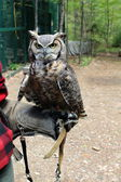 Beautiful Great horned owl perched on the heavy gloved arm of it's handler out in natural habitat — Stock Photo