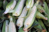Open ears of butter and sugar corn with peeled back husks to show how fresh and delicious they are,tempting shoppers to purchase and bring them home. — Foto de Stock