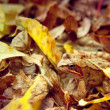 Frog hiding in the autumn leaves — Stock Photo