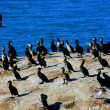 qinghai lake cormorant island — Stock Photo