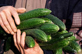 "Bishan County Yancun vegetable base ""cucumber"" vegetable field and farmer at harvest cucumbers — Stock Photo"