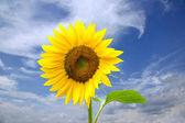 North Sunflower — Stock Photo