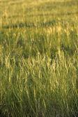 "Inner Mongolia Hulunbeier ""China's first Qushui"" mergel River Golden Horde Khan Mongolian tribes golden grassland — Stock Photo"