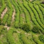 Shenzhen City, Guangdong Province, East Dameisha tea plantation valley Ancient Tea Town — Stock Photo #33940361