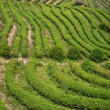 Shenzhen City, Guangdong Province, East Dameisha tea plantation valley Ancient Tea Town — Stock Photo #33940663