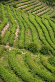 Shenzhen City, Guangdong Province, East Dameisha tea plantation valley Ancient Tea Town — Stock Photo