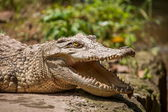 Centro di chongqing coccodrillo crocodile pool — Foto Stock